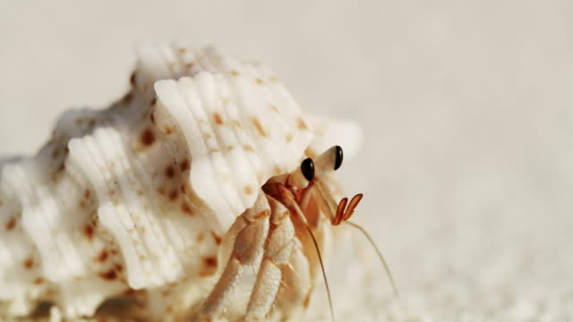 CU Sand crab emerging from shell and scurrying on white sand beach,Maldives
