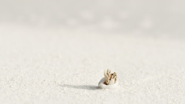 cu sand crab emerging from shell on white sand beach,maldives - emergence stock videos & royalty-free footage