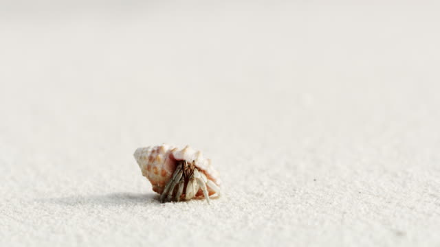 cu sand crab emerging from shell on white sand beach,maldives - animal shell stock videos & royalty-free footage