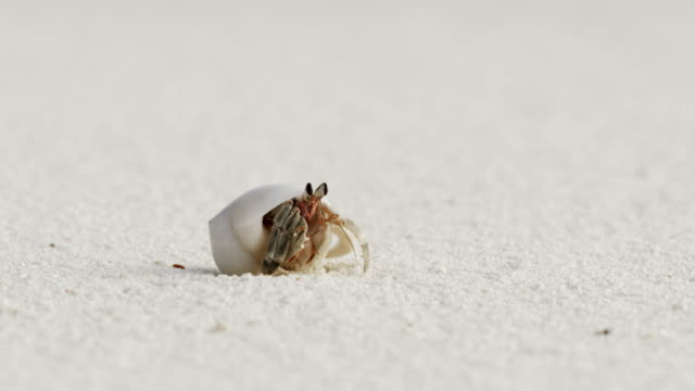 cu-sand-krabbe in der schale am weißen sandstrand, malediven - rack focus stock-videos und b-roll-filmmaterial