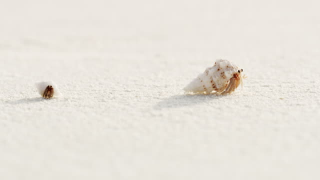 cu sand crabs emerging from shells,scurrying on white sand beach,maldives - animal shell stock videos & royalty-free footage