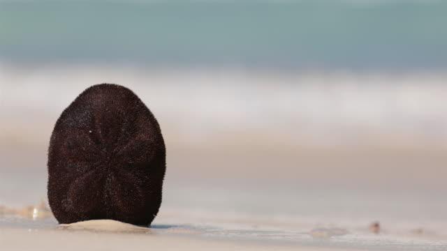 UHD 4K Sand Dollar Sea Urchin on Beach, Cayo Coco, Cuba
