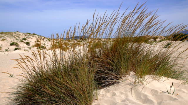 sand dune and grass against blue sky - marram grass stock videos & royalty-free footage