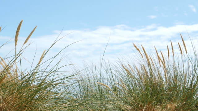 sand dunes and reeds blue sky with clouds. sm. - grass family stock videos & royalty-free footage
