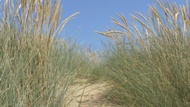 Sand dunes, blue sky and Marram grass.