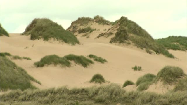 ws sand dunes topped or covered w/ marram grass pan dunes more grass sand no people sites of special scientific interest protected - marram grass stock videos & royalty-free footage