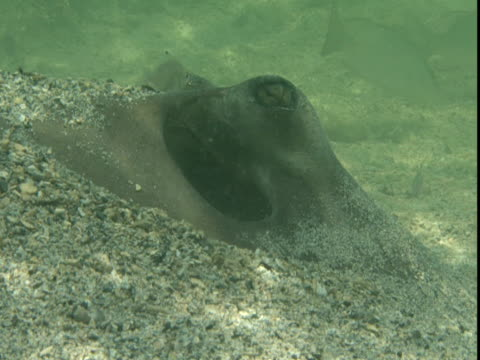 sand dusts the face of a stingray. - southern stingray stock videos and b-roll footage