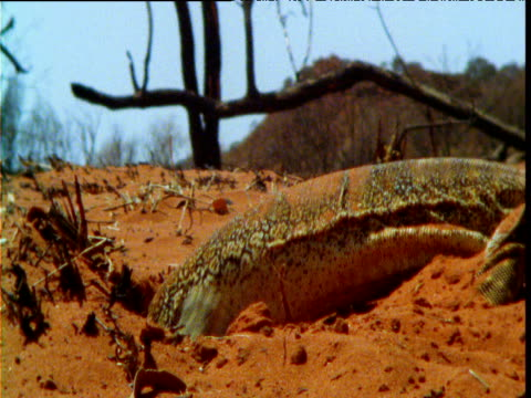 sand goanna burrows into sand in outback, northern territory - digging stock videos and b-roll footage
