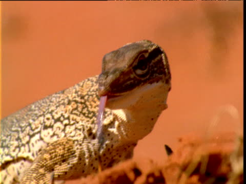 Sand goanna flicks out tongue in outback, Northern Territory, Australia