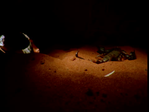 "vidéos et rushes de sand goanna scavenges dead scorpion from its burrow, northern territory - ""bbc natural history"""