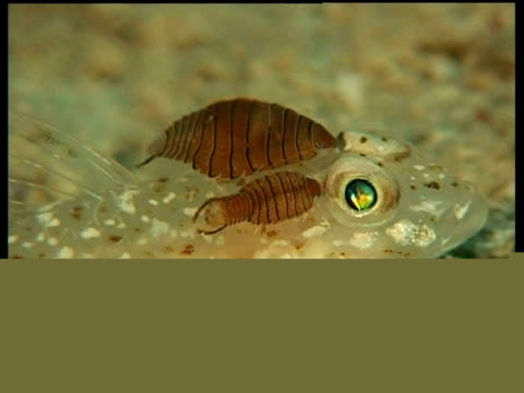 cu sand goby with copepod parasites on back, side view, mabul, borneo, malaysia - parasitic stock videos & royalty-free footage
