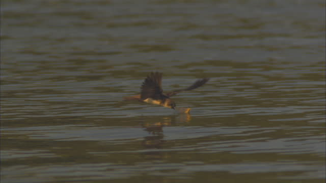 slo mo ms sand martin adult flies in and attacks long tailed mayfly on surface of tisza river - 翼を広げる点の映像素材/bロール