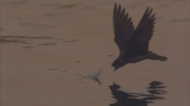 slo mo cu sand martin adult flies to camera and picks up feather floating on surface of tisza river - genauigkeit stock-videos und b-roll-filmmaterial