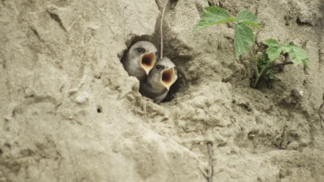 cu sand martin chicks look out from nest hole on riverbank of tisza river - animal nest stock videos and b-roll footage