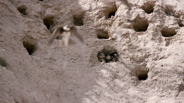 Sand Martins Nesting In Sand Dunes Cayton Bay  Scarborough