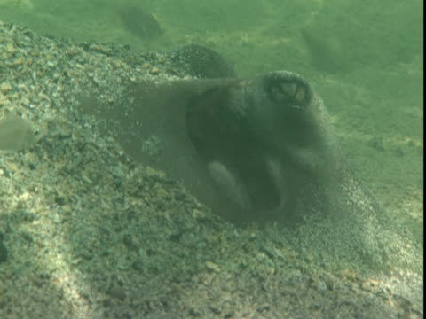 sand partially covers a stingray. - southern stingray stock videos and b-roll footage