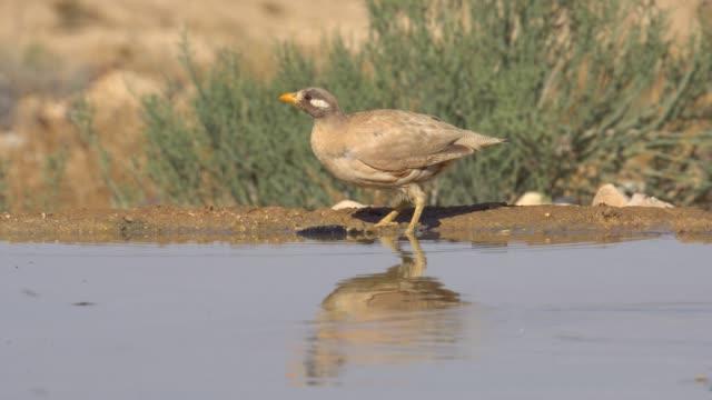 sand partridge  (ammoperdix heyi) - named wilderness area stock videos & royalty-free footage