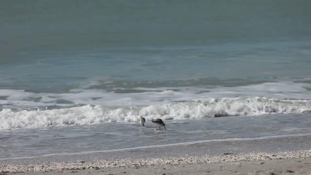 vídeos de stock e filmes b-roll de areia pipers no surf - quatro animais
