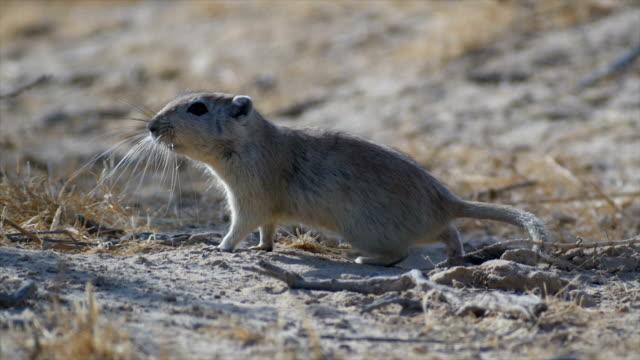 vídeos y material grabado en eventos de stock de sand rat/psammomys obesus - vibrisas