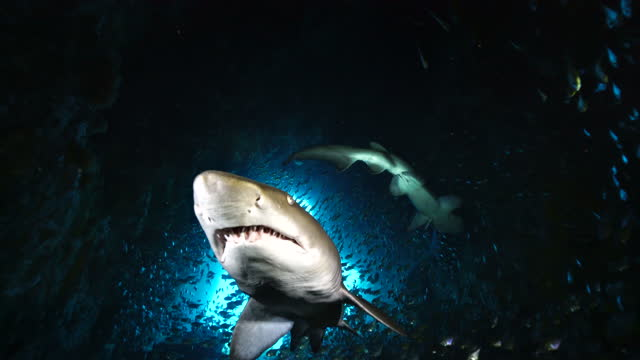 sand tiger, or grey nurse, shark swims straight to the camera inside fish rock cave, south west rocks, nsw, australia. - aquatic organism stock videos & royalty-free footage