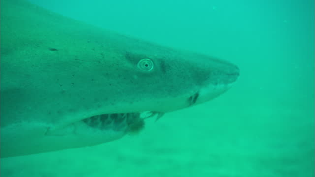 sand tiger ragtooth shark, north carolina, atlantic ocean  - sand tiger shark stock videos and b-roll footage