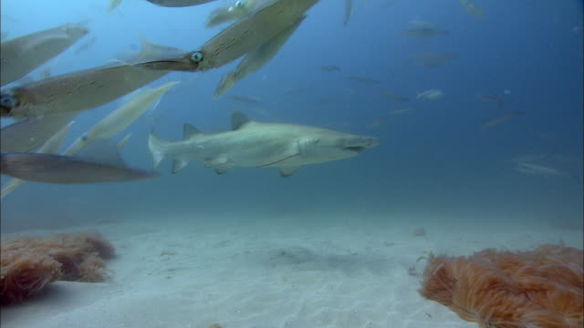 sand tiger shark (carcharias taurus) and chokka squid (loligo vulgaris reynaudii), south africa - sand tiger shark stock videos and b-roll footage