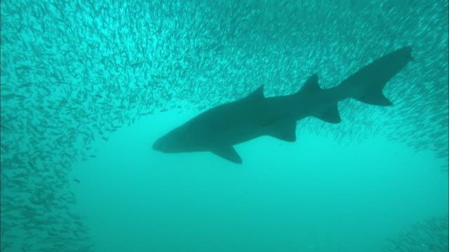 sand tiger shark around bait ball. north carolina, atlantic ocean  - sand tiger shark stock videos and b-roll footage