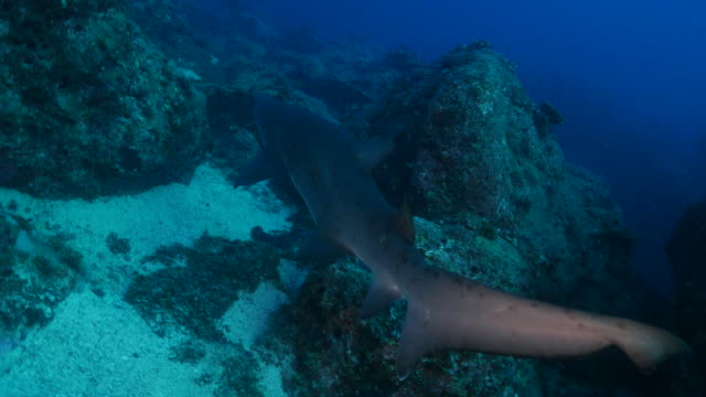 sand tiger shark at underwater coral reef, ogasawara, japan - sand tiger shark stock videos and b-roll footage