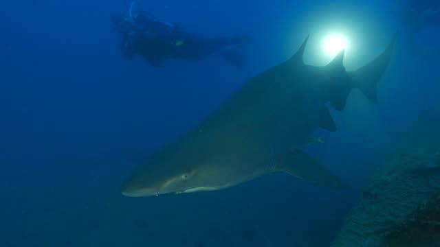 sand tiger shark cruising close to camera - sand tiger shark stock videos and b-roll footage
