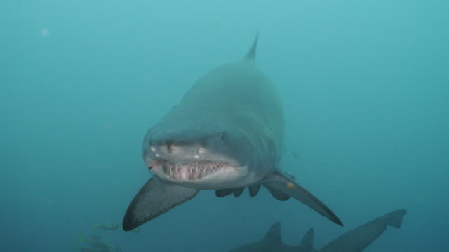 sand tiger shark / grey nurse shark - sand tiger shark stock videos and b-roll footage