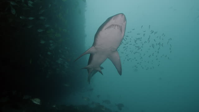 sand tiger shark / grey nurse shark - salt water fish stock videos & royalty-free footage