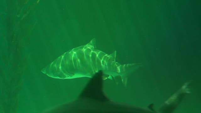 Sand Tiger Shark in the aquarium