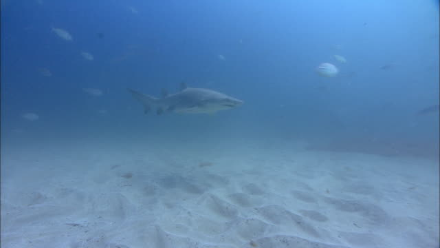sand tiger shark (carcharias taurus) swims over sea floor, south africa - sand tiger shark stock videos and b-roll footage
