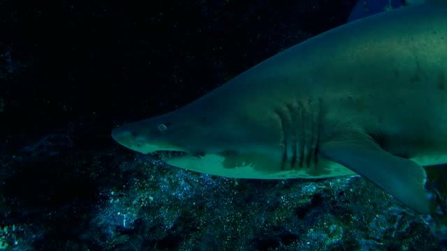 sand tiger shark - sand tiger shark stock videos and b-roll footage