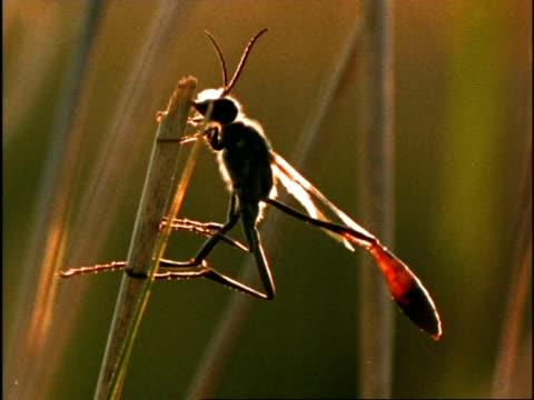 sand wasp (ammophila) cu backlit, resting at dawn, usa - オオハマガヤ属点の映像素材/bロール