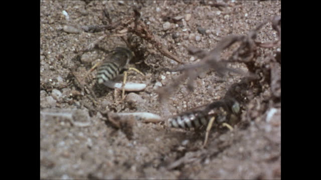 sand wasp digging in sandy soil la ms two black white banded sand wasps digging la behind wasp throwing sand out of burrow disappearing into tunnel... - pebble stock videos & royalty-free footage