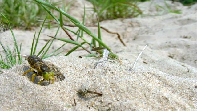 sand wasp (bembix niponica) digging sand - skadedjur bildbanksvideor och videomaterial från bakom kulisserna