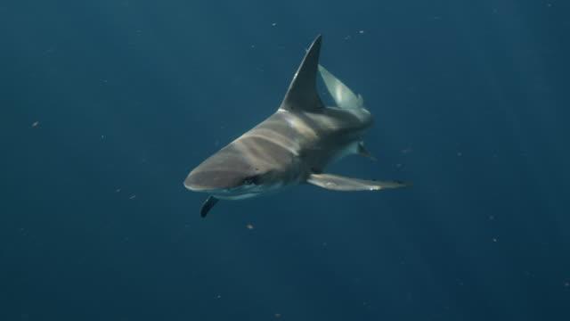 sandbar shark - pelagic zone stock videos & royalty-free footage