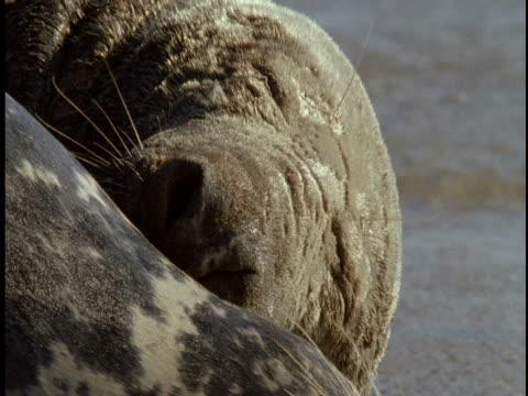 sand-crusted grey seals rest on the beach of sable island. - 大西洋諸島点の映像素材/bロール
