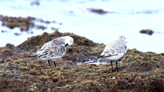 vídeos de stock, filmes e b-roll de sanderling - gran canaria, espanha - ilhas do oceano atlântico