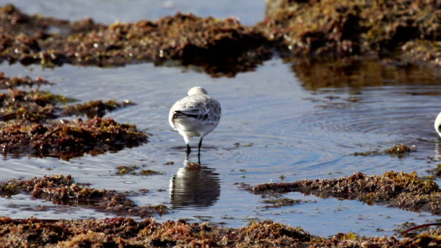 sanderling  - grand canary, spain - grand canary stock videos and b-roll footage