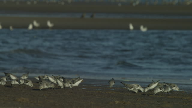 sanderlings foraging in low tide - foraging stock videos and b-roll footage