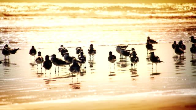 sanderlings - sandpiper stock videos & royalty-free footage