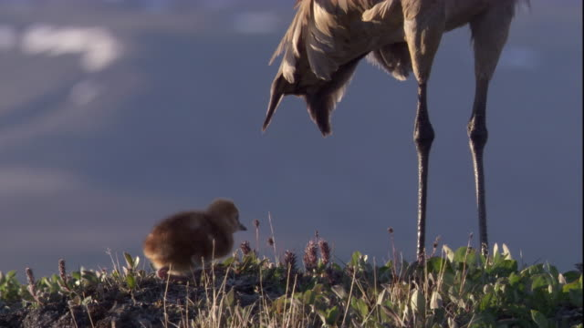 sandhill crane chick approaches adult on tundra in the canadian arctic. available in hd - sandhill crane stock videos & royalty-free footage