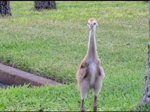 sandhill crane chick - sandhill crane stock videos & royalty-free footage