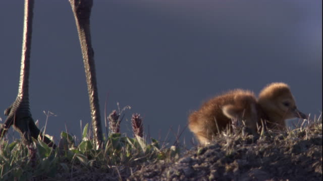 sandhill crane chick walks near its parent on tundra. available in hd - sandhill crane stock videos & royalty-free footage
