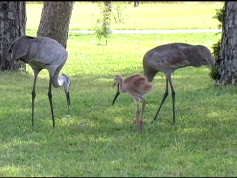 sandhill crane family - animal family stock videos and b-roll footage