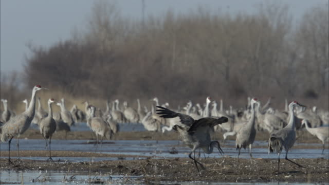 a sandhill crane flaps its wings and hops up and down in a marshy area. - sandhill crane stock videos & royalty-free footage