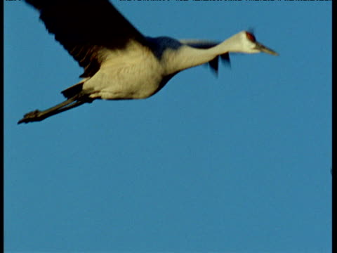 sandhill crane flies across blue sky, new mexico - sandhill crane stock videos & royalty-free footage