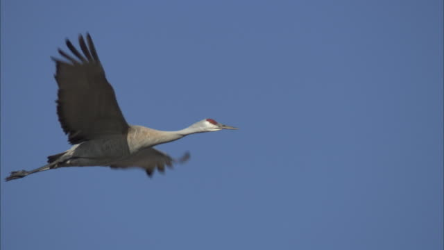 a sandhill crane flies in front of others in a deep blue sky. - sandhill crane stock videos & royalty-free footage